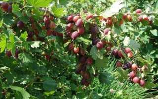 Крыжовник Грушенька: секреты выращивания бесшипного сорта