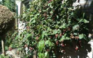 Ежевика Блэк Сатин: отзывы, описание, урожайность и уход