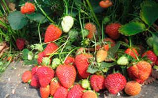 Клубника сан-андреас: описание, характеристика сорта, фото, отзывы огородников — eТеплица