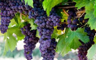 Уход за виноградом осенью: обрезка на зиму и укрытие от морозов
