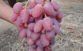 Виноград Виктор — описание сорта с фото, посадка и уход, отзывы