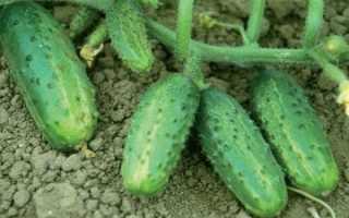 Огурец Фермер: описание, характеристика, отзывы, фото