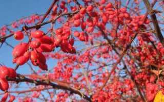 Барбарис: лечебные свойства и противопоказания