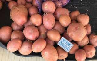 Сорт картофеля Ред Соня: фото, отзывы, описание, характеристики