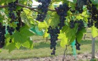 Правильное укрытие винограда на зиму на Урале