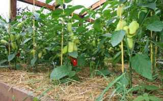 Сорт перца Здоровье: описание с фото, характеристиками и отзывами, особенности выращивания
