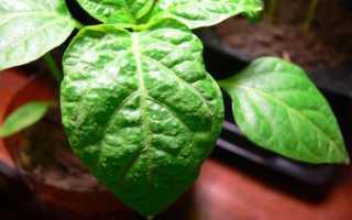 Болезни рассады перца сладкого и борьба с ними, фото листьев, лечение