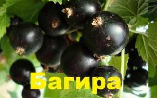 Черная смородина Багира- описание, фото, особенности сорта