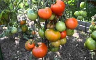 Томат Дубрава: описание и характеристика сорта помидор, плюсы и минусы