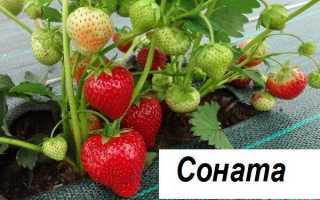 Клубника Соната: описание сорта, отзывы садоводов