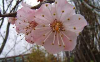 Абрикос маньчжурский: описание и уход