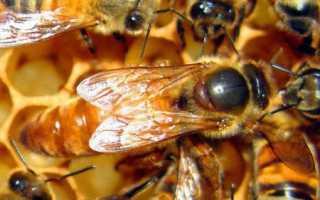 Пчелиная матка: этапы развития, как появляется, описание