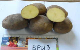 Картофель — Бриз: описание сорта, характеристика, фото, отзывы