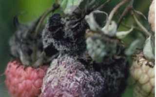 Болезни и вредители малины: фото и их лечение, чем обработать