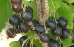 Сорт черной смородины Валовая: описание, отзывы