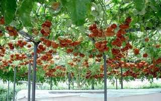Кистевые томаты: лучшие сорта для теплиц и открытого грунта