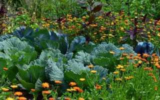 Когда сеять капусту в Сибири? Опыт сибиряка, Дача