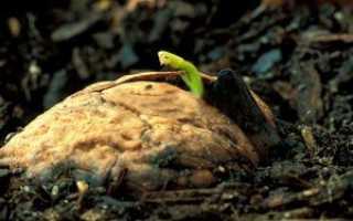 Как вырастить (прорастить) грецкий орех из ореха (плода)