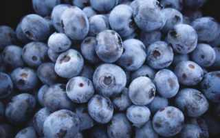 Голубика Дюк: описание сорта и особенности выращивания