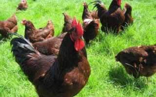 Род-айленд — порода кур: описание, фото, характеристики, отзывы