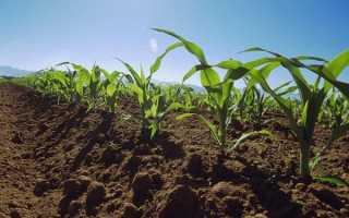 Кукуруза: чем подкормить для роста, удобрение аммиачной селитрой и карбамидом, нормы