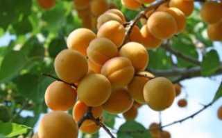 Абрикос Россиянин: описание сорта, характеристики плодоношения и ухода