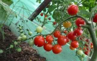 Томаты черри для теплицы — сорта помидоры, похожие на вишню: как выращивать лучшие сорта и ухаживать за кустом при выращивании?
