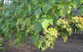 Виноград Валек: описание сорта и отзывы