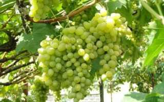 Виноград Августин: описание сорта, достоинства и недостатки