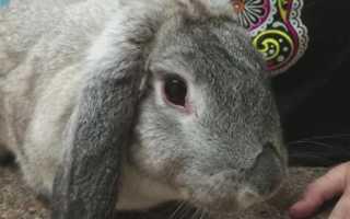 Болезни глаз у кроликов и их лечение: фото, причины и симптомы