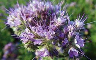 Сидерат фацелия: как и когда сеять весной, полезные свойства и фото