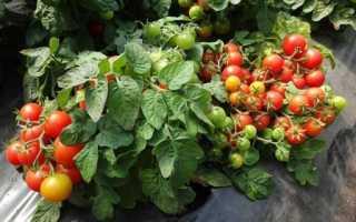 Лучшие сорта помидор для открытого грунта (50 фото): какие низкорослые томаты, какие самые урожайные, хорошая рассада, карликовые и крупноплодные, какие ранние, какой уход, описание