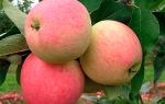 Яблоня Мечта — описание сорта с фото, посадка и уход, отзывы