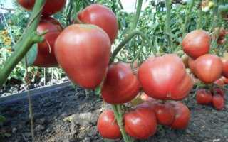 Томат Орлиный клюв: характеристики сорта, описание, отзывы, урожайность