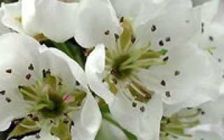 Уход за грушей весной: подкормка груши, обработка от вредителей и др