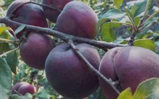 Абрикос черный бархат: описание сорта, фото, отзывы — Популярно о здоровье