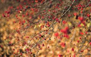 Барыня-дерево боярышник
