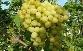 Виноград сорта Галахад: общие сведения и правила ухода, нюансы размножения