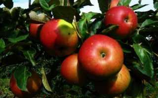 Яблоня — Айдаред: описание сорта, фото, посадка и уход