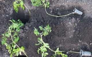Переросшая рассада помидоров: как посадить переросшую рассаду в открытый грунт или теплицу