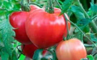 Томат Сто пудов: характеристика и описание сорта, урожайность с фото