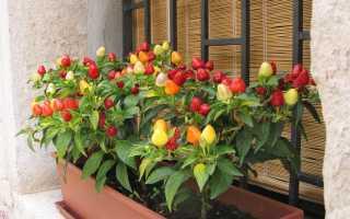 Сорта перца для балкона: описание, характеристика, выращивание, фото