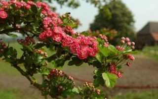 Однопестичный боярышник (12 фото): разновидность декоративных деревьев и кустарников, описание вида однопестичного — Компакта