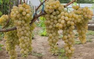 Столовые сорта винограда: 10 самых лучших и популярных