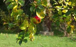 Как обрезать яблони осенью: схема, видео, инструкция для начинающих