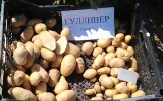Сорт картофеля Гулливер: фото, отзывы, описание, характеристики