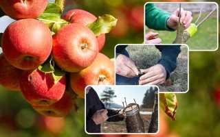 Прививка плодовых деревьев весной: раскрываем все секреты