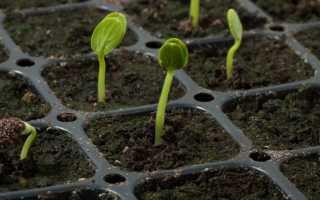 Посадка арбузов на рассаду в домашних условиях: когда и как сажать?