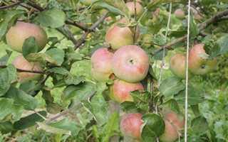 Сорт яблони Медуница: фото, отзывы, описание, характеристики