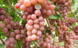 Виноград — Рута: описание сорта, фото, отзывы